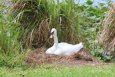 Photograph - Nesting Swan by Carol Groenen