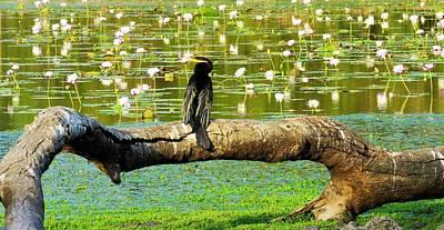 Girl Wall Art - Photograph - Never Mind The Crocodiles, Australasian Darter by Joan Stratton