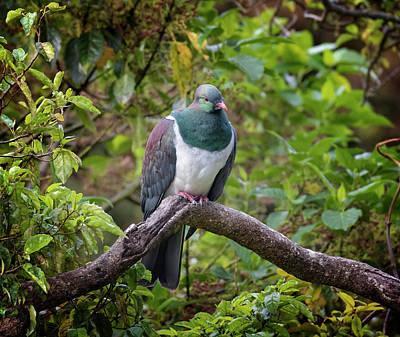 Wall Art - Photograph - New Zealand Pigeon by Joan Carroll