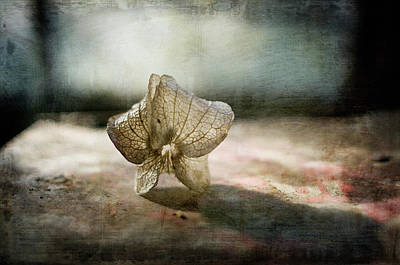 Fragility Photograph - Nicandra Seed by Jill Ferry