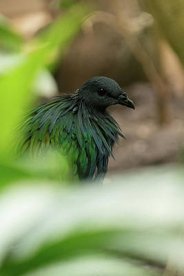 Photograph - Nicobar Pigeon by Kuni Photography