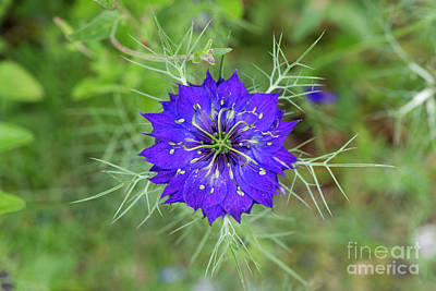 Photograph - Nigella Damascena Flower by Tim Gainey