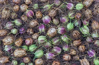 Photograph - Nigella Hispanica Seed Pods by Tim Gainey