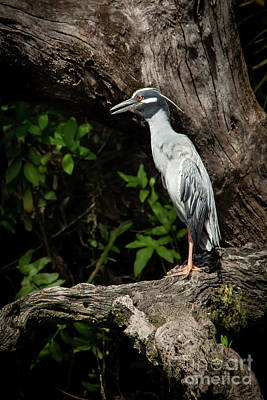 Photograph - Yellow Crowned Night Heron Lookout  by Sabrina L Ryan