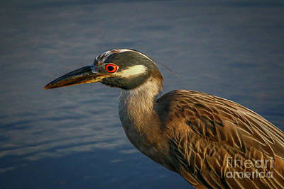 Night Heron Portrait Art Print