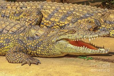 Photograph - Nile Crocodile Face by Benny Marty