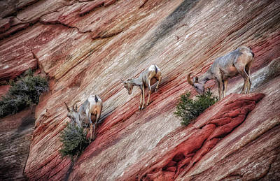 Photograph - Nimble Mountain Goats 5694 by Donald Brown