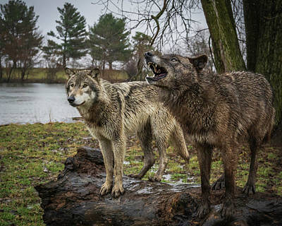 Photograph - Noisy Wolf by Laura Hedien