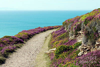 Photograph - North Cornwall Coast Path Heather And Gorse by Terri Waters
