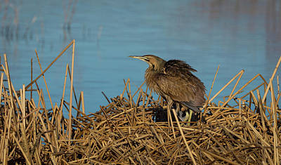 Photograph - American Bittern 2 by Rick Mosher