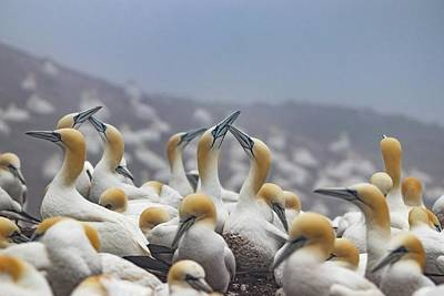 Moody Trees Rights Managed Images - Northern Gannet Colony Bonaventure Island Royalty-Free Image by Marlin and Laura Hum