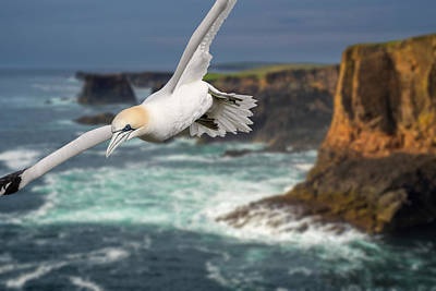 Photograph - Northern Gannet Soaring In Stormy Weather by Arterra Picture Library