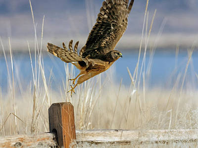 Photograph - Northern Harrier 5 by Rick Mosher