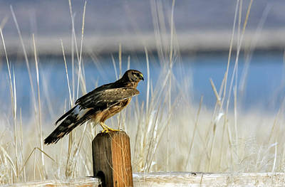Photograph - Northern Harrier 6 by Rick Mosher