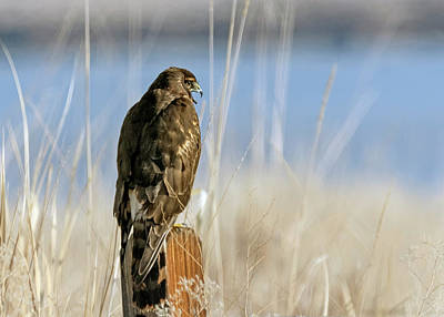 Photograph - Northern Harrier 7 by Rick Mosher
