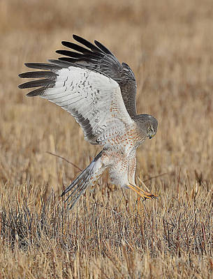 Photograph - Northern Harrier Attacks by William Jobes