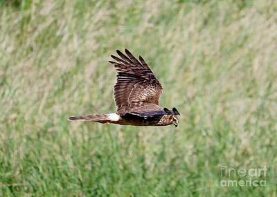 Photograph - Northern Harrier Fly By by Carol Groenen