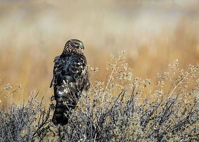 Photograph - Northern Harrier Hawk by Rick Mosher