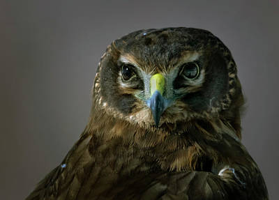 Photograph - Northern Harrier Head Shot 2 by Rick Mosher