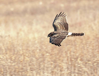 Photograph - Northern Harrier The Hunt by Lara Ellis