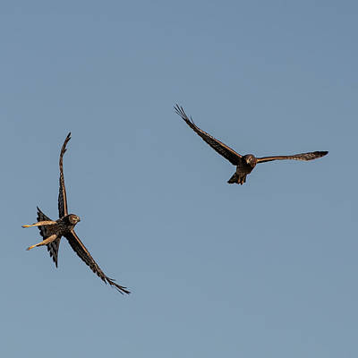 Photograph - Northern Harriers 3 by Douglas Killourie