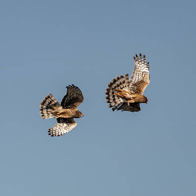 Photograph - Northern Harriers 7 by Douglas Killourie