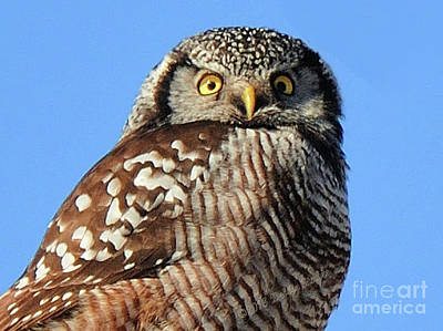 Art Print featuring the photograph Northern Hawk-owl by Debbie Stahre