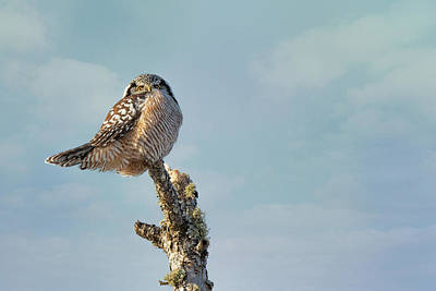 Photograph - Northern Hawk Owl by Susan Rissi Tregoning