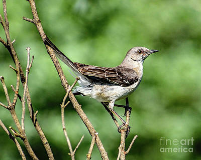 Michael Jackson - Northern Mockingbird Is A Perfect Model by Cindy Treger