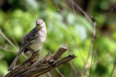 Photograph - Northern Mockingbird Pose by Susan Rissi Tregoning