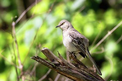 Photograph - Northern Mockingbird by Susan Rissi Tregoning