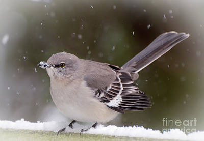 Photograph - Northern Mockingbird With A Snow Beak by Kerri Farley
