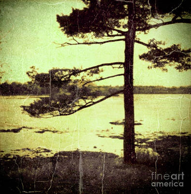 Photograph - Northern Pine by RicharD Murphy