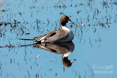 Royalty-Free and Rights-Managed Images - Northern Pintail Drake by Mike Dawson