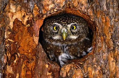 Pygmy Owl Wall Art - Photograph - Northern Pygmy-owl Glaucidium Gnoma In by Art Wolfe