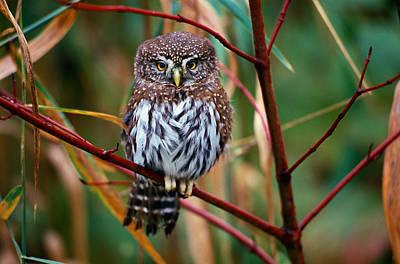 Pygmy Owl Wall Art - Photograph - Northern Pygmy-owlglaucidium Gnoma by Art Wolfe