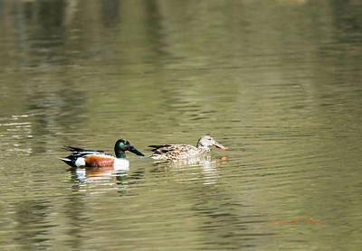 Photograph - Northern Shoveler Pair by Edward Peterson