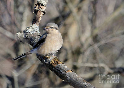Photograph - Northern Shrike by Debbie Stahre