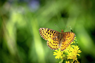 Photograph - Northwest Fritillary Butterfly.  Speyeria Hesperis by Karen and Phil Rispin