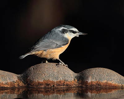 Photograph - Nuthatch 4205 by John Moyer