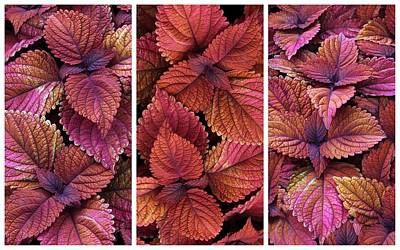 Photograph - Coleus Collage II by Jessica Jenney