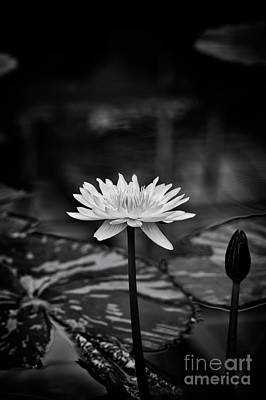Photograph - Nymphaea Camembert Monochrome by Tim Gainey