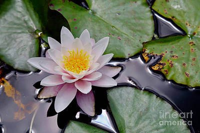 Photograph - Nz Waterlily by American School
