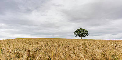 Photograph - Oak And Barley by Nick Bywater