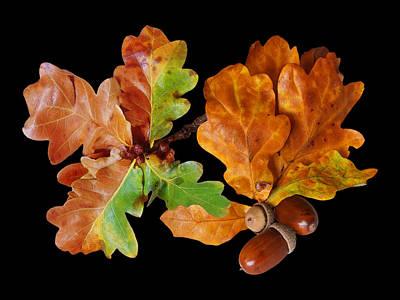 Photograph - Oak Leaves And Acorns On Black by Gill Billington