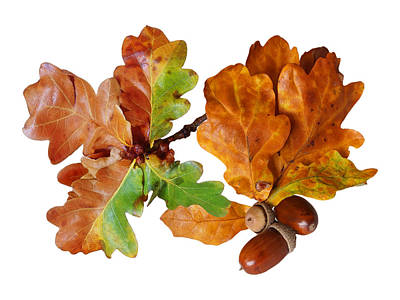 Photograph - Oak Leaves And Acorns On White by Gill Billington