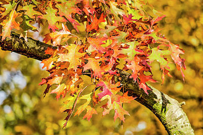 Photograph - Oak Leaves Color Explosion by Frans Blok