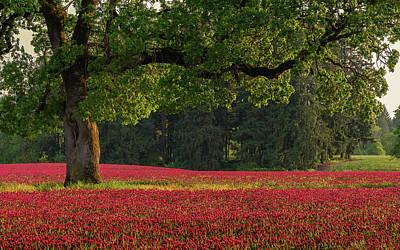 Field Photograph - Oak Tree In Red Clover Field by Jason Harris
