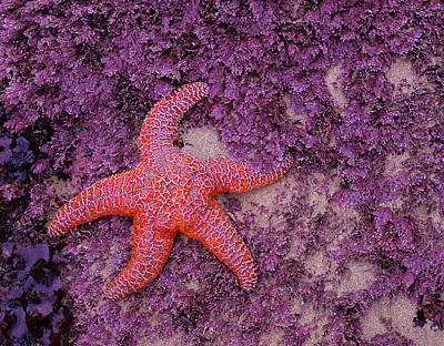 Purple Sea Stars Wall Art - Photograph - Ochre Sea Star Pisaster Ochraceus by Danita Delimont