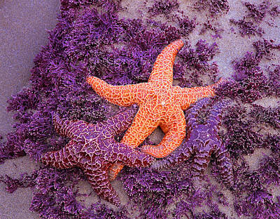 Purple Sea Stars Wall Art - Photograph - Ochre Sea Stars Pisaster Ochraceus by Danita Delimont